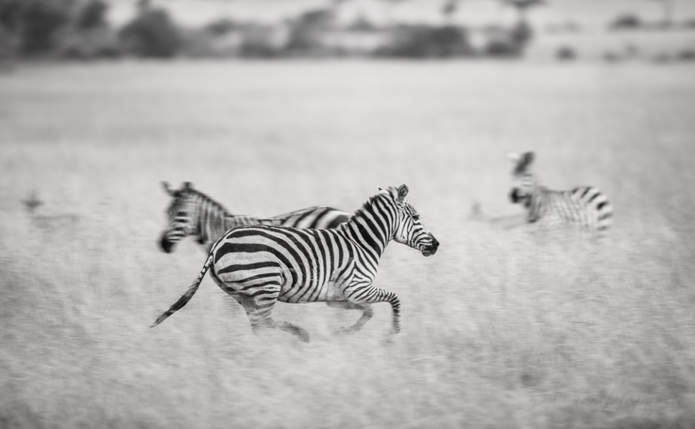 Zebra-_DSC2867-20150803